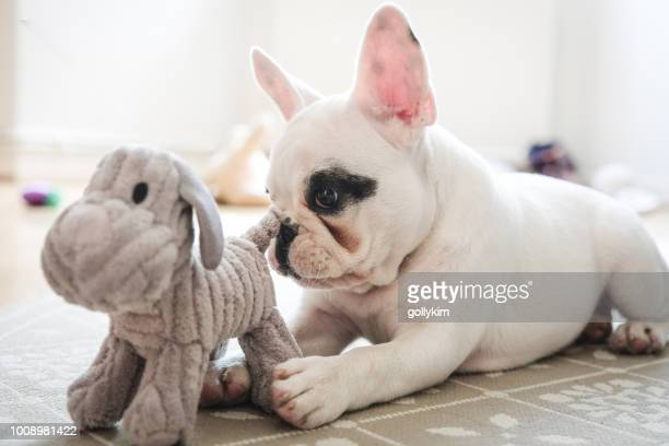 french bulldog puppy playing with dog toy. - stuffed toy stock pictures, royalty-free photos & images
