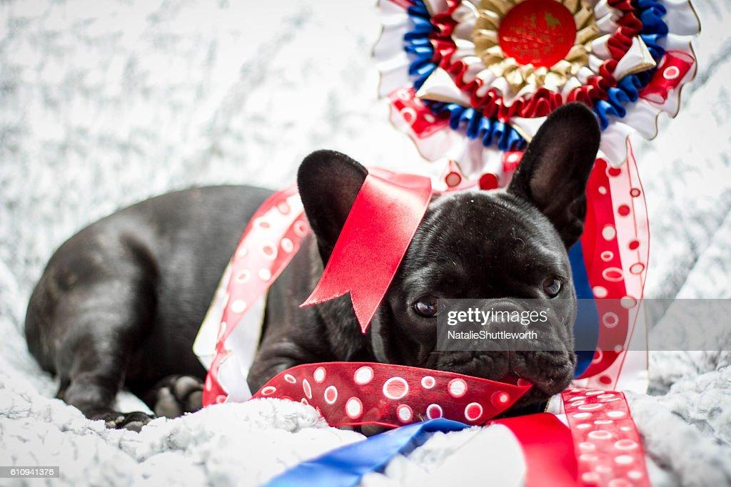 French Bulldog Puppy - Show Dog : Foto de stock