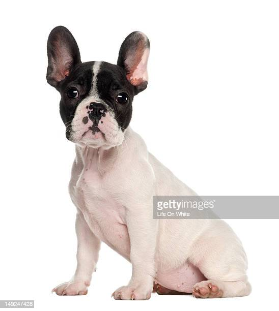 French Bulldog puppy (10 weeks old) sitting
