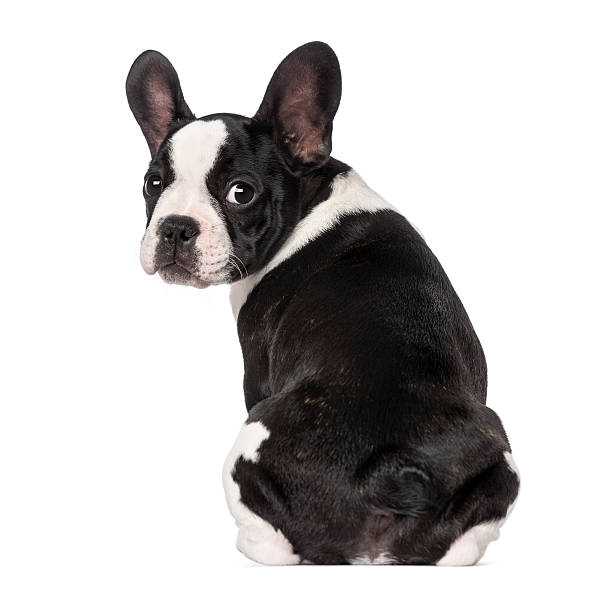 French Bulldog Puppy (3 Months Old) Sitting Wall Art