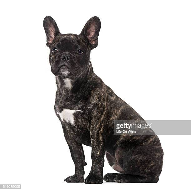 French Bulldog puppy (5 months old) sitting