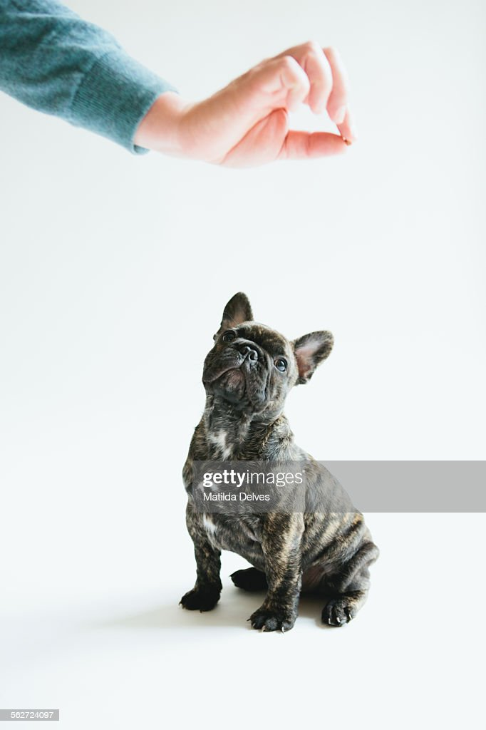 French Bulldog Puppy Sitting Waiting For Food High Res Stock Photo Getty Images