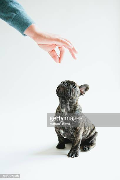 French bulldog puppy sitting waiting for food