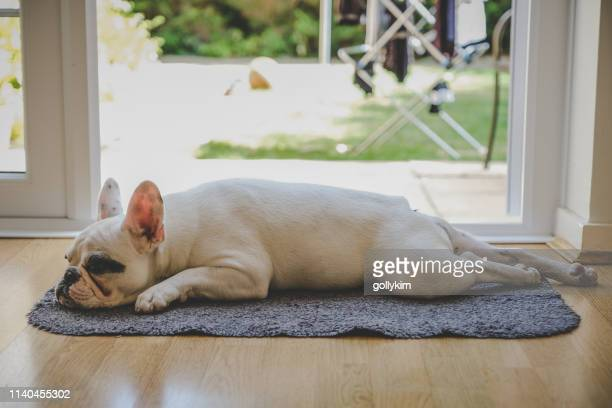 french bulldog puppy sleeping by the door - french bulldog stock pictures, royalty-free photos & images