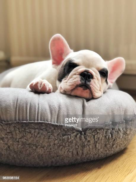 french bulldog puppy sleeping on dog bed - pet bed stock pictures, royalty-free photos & images
