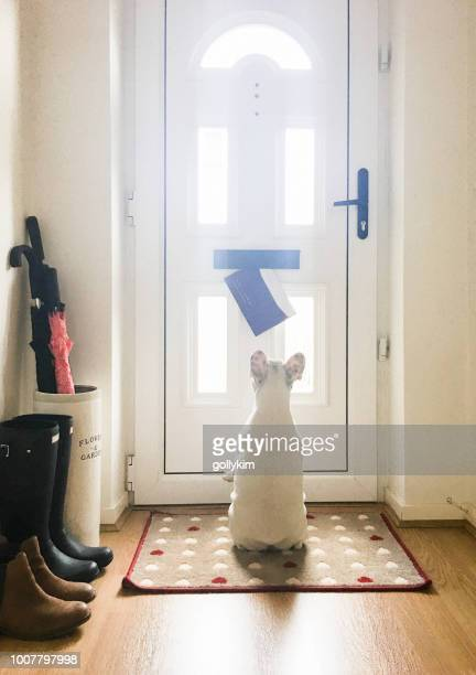 french bulldog puppy staring at the mail came through the mail slot on the front door of an english home, england - mail stock pictures, royalty-free photos & images