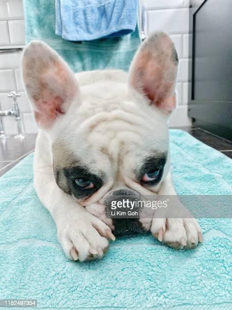 French Bulldog puppy waiting on bath mat next to bath tub