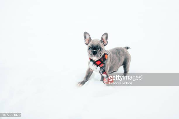 French Bulldog puppy wearing scarf and standing in snow