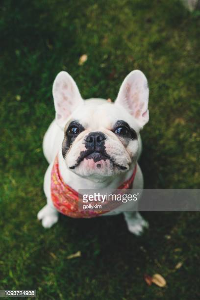 french bulldog puppy with bandana in the garden - bandana stock pictures, royalty-free photos & images
