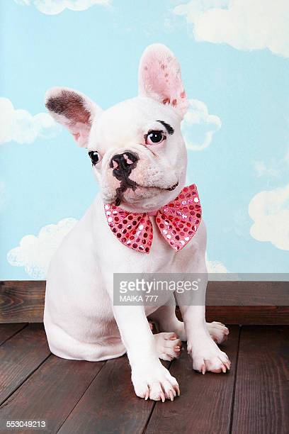 french bulldog puppy with pink bow tie - bulldog frances imagens e fotografias de stock