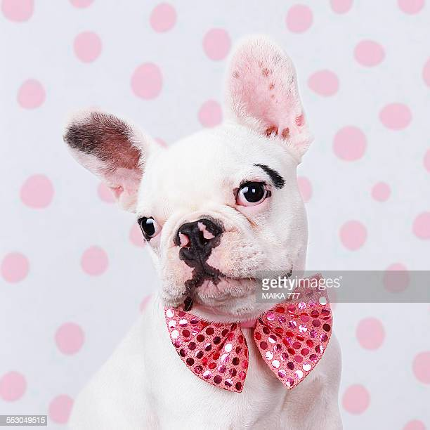 french bulldog puppy with pink bow tie - bulldog frances imagens e fotografias de stock
