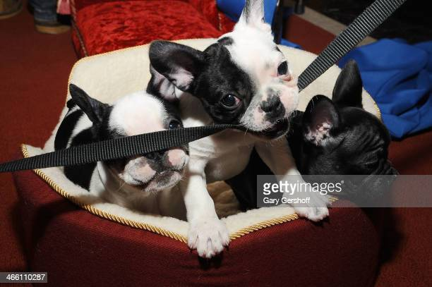 French Bulldog pups are seen during the American Kennel Club's 'Most Popular Breeds 2013' press conference on January 31 2014 in New York City
