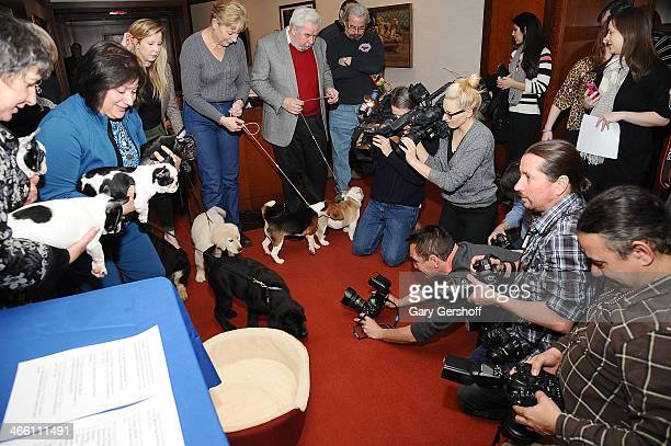 French Bulldog pups seen being photographed during the American Kennel Club's 'Most Popular Breeds 2013' press conference on January 31 2014 in New...