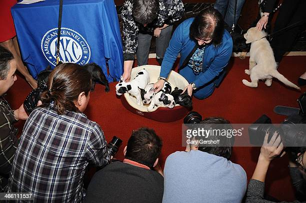 French Bulldog pups seen being photographed during the American Kennel Club's Most Popular Breeds 2013 press conference on January 31 2014 in New...