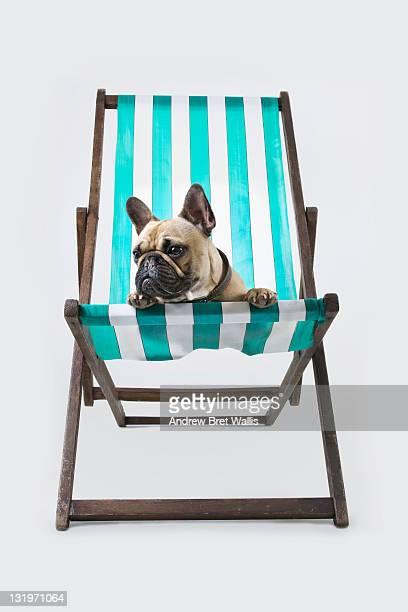 French Bulldog relaxing in a deckchair