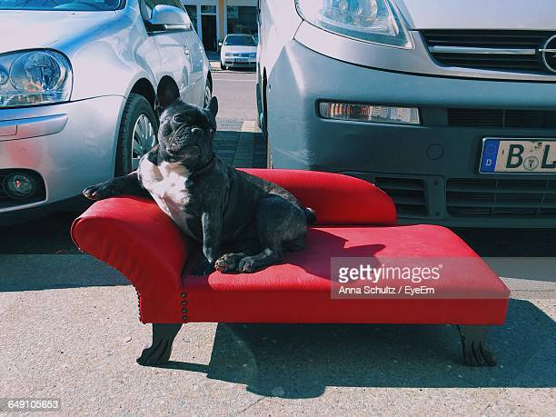 French Bulldog Relaxing On Sofa Against Cars In Parking Lot