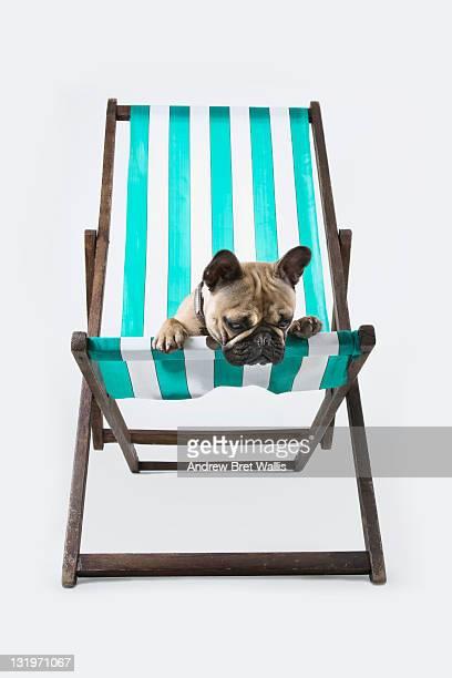 French Bulldog resting in a deckchair