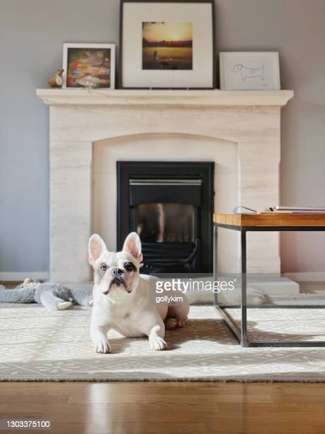 french bulldog resting on carpet in the living room - pet toy stock pictures, royalty-free photos & images