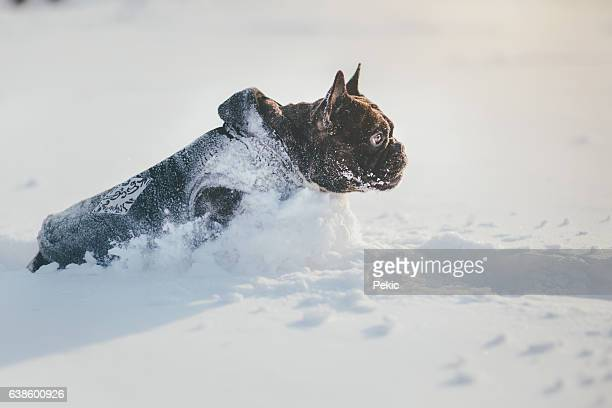 French bulldog running on snow