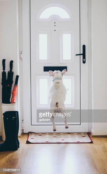 french bulldog rushing to the door for postman delivering mail - jumping stock pictures, royalty-free photos & images