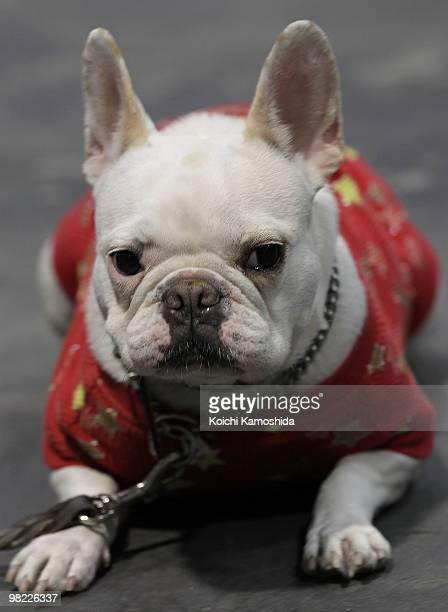 French Bulldog sits backstage during the Asian International Dog Show at Tokyo Big Sight on April 3 2010 in Tokyo Japan