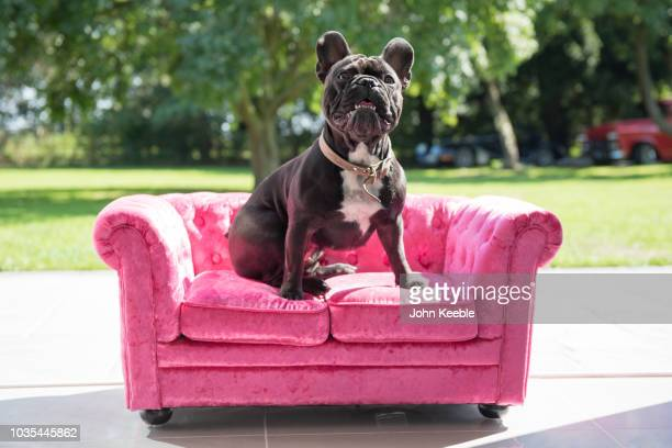 french bulldog sits on small sofa - pet bed stock pictures, royalty-free photos & images