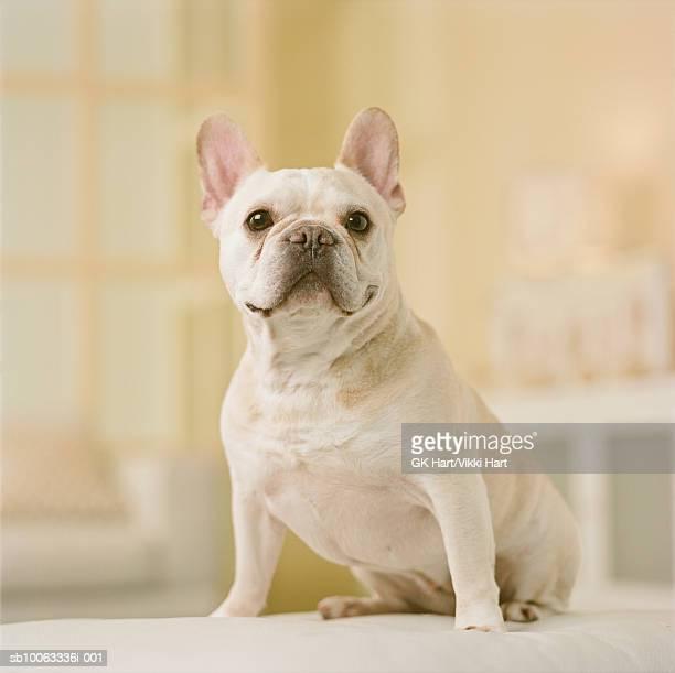 French Bulldog sitting, close-up