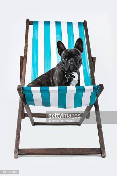 French Bulldog sitting in a deckchair