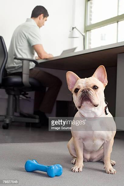 French bulldog sitting in an office