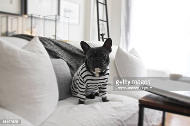 french bulldog sitting on sofa at home - bulldog frances imagens e fotografias de stock