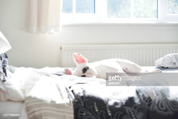 french bulldog sleeping on bed - bed stock pictures, royalty-free photos & images