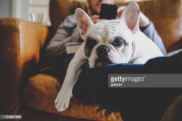 french bulldog sleeping on man using his smart phone - weekend activities stock pictures, royalty-free photos & images