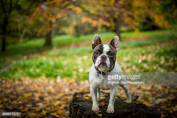 a french bulldog standing in an autumnal setting - french bulldog stock pictures, royalty-free photos & images