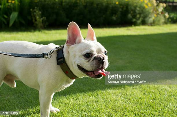 French Bulldog Standing In Park