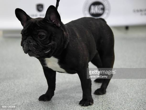 French Bulldog the 6th most popular breed of 2016 is shown at The American Kennel Club Reveals The Most Popular Dog Breeds Of 2016 at AKC Canine...