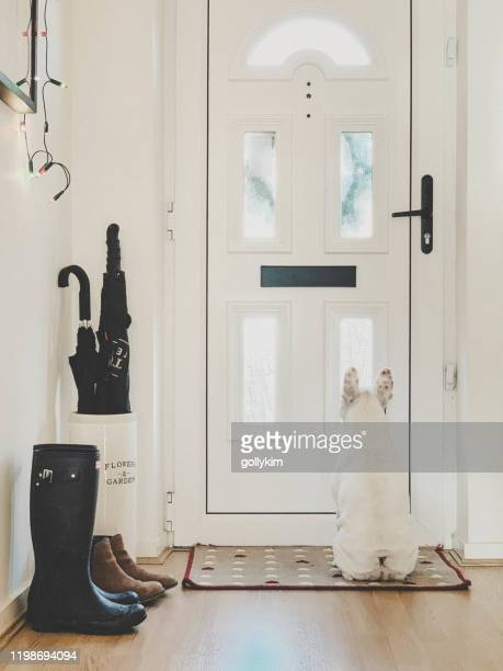 french bulldog waiting patiently for postman by the front door - eyes wide shut foto e immagini stock