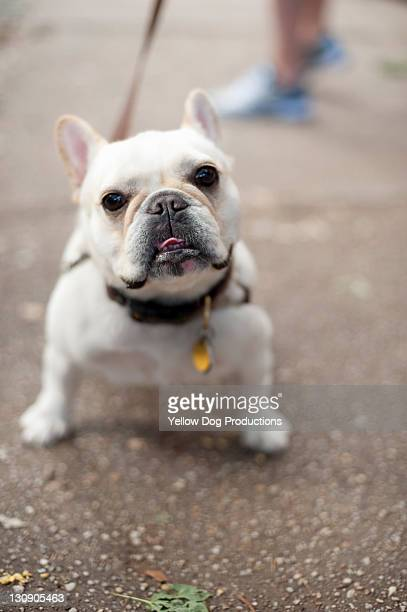 French Bulldog Walking on Street