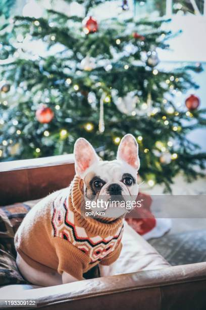 french bulldog wearing a christmas sweater posing in front of christmas tree - day stock pictures, royalty-free photos & images