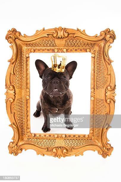 french bulldog wearing a crown, in a golden frame - bulldog frances imagens e fotografias de stock