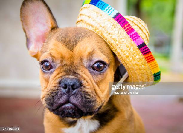 French bulldog wearing a straw hat