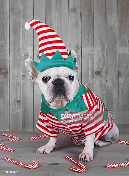 French bulldog wearing Christmas elf costume