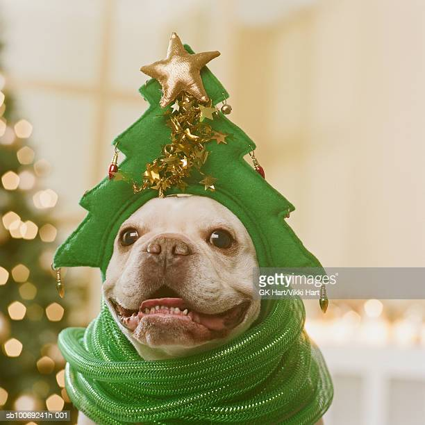 French Bulldog wearing hat and green ribbon in front of Christmas tree, close-up
