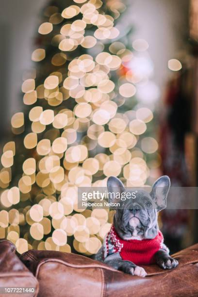 French Bulldog wearing red sweater by Christmas tree