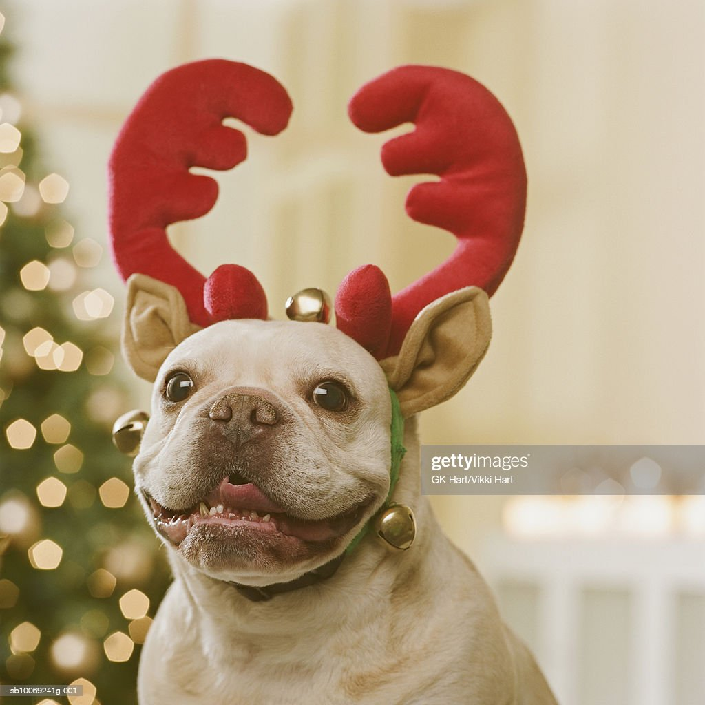 French Bulldog wearing reindeer antlers in front of Christmas tree, close-up : Stockfoto