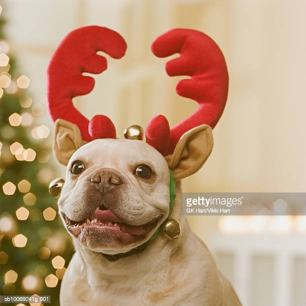 French Bulldog wearing reindeer antlers in front of Christmas tree, close-up