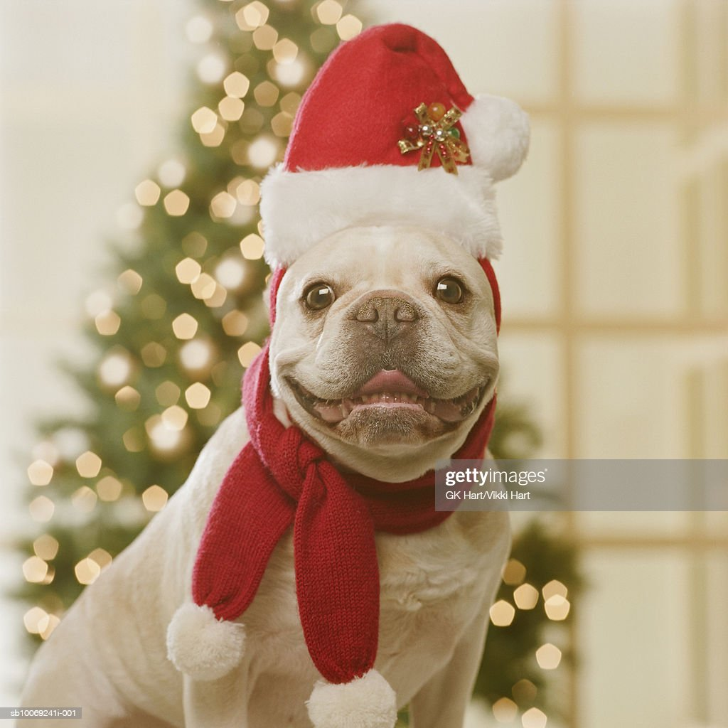 French Bulldog wearing Santa hat and scarf in front of Christmas tree, close-up : Stockfoto