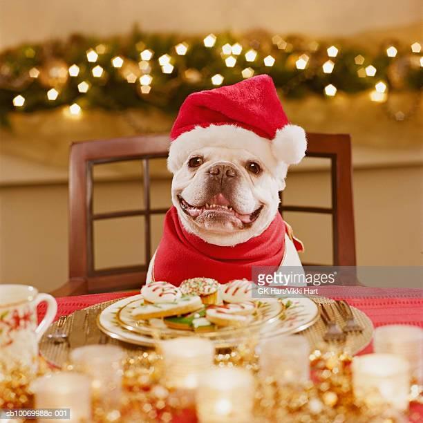 French bulldog wearing santa hat at table, close-up