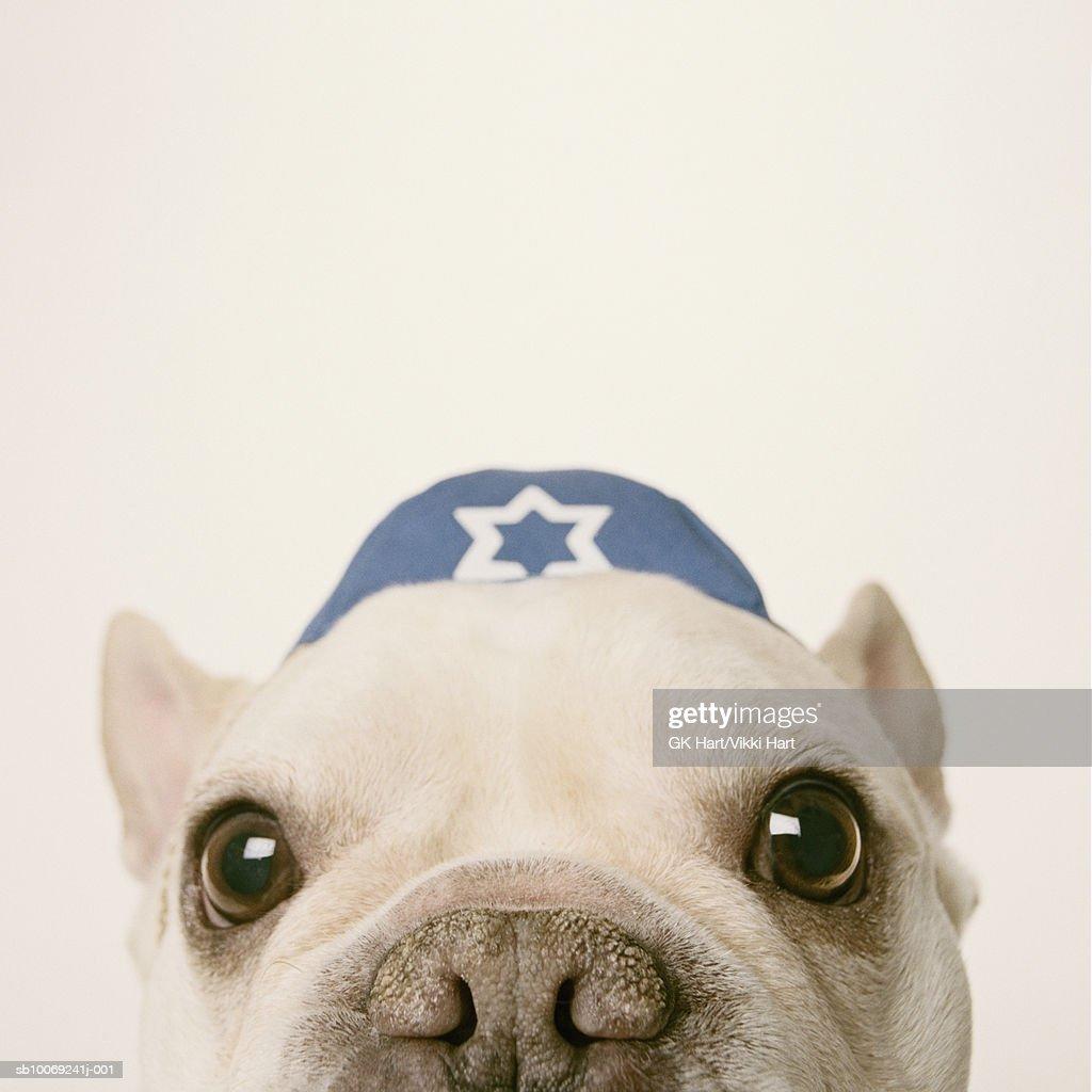 French Bulldog wearing yarmulke on white background, close-up : Stockfoto