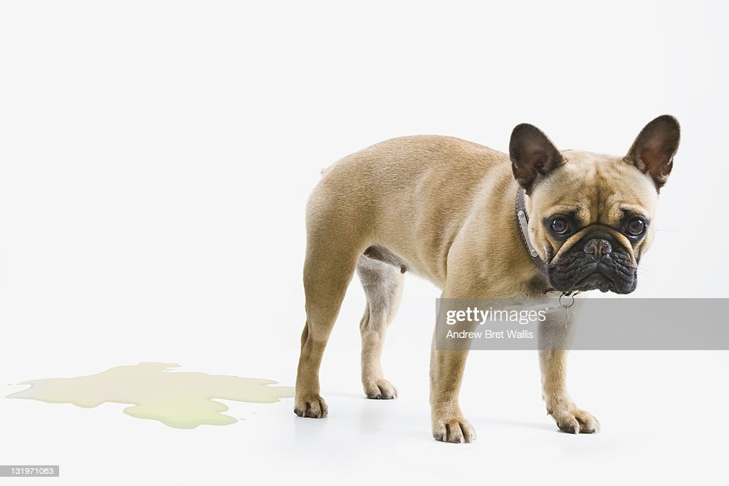 French Bulldog wets the floor & looks embarrassed : Stock Photo