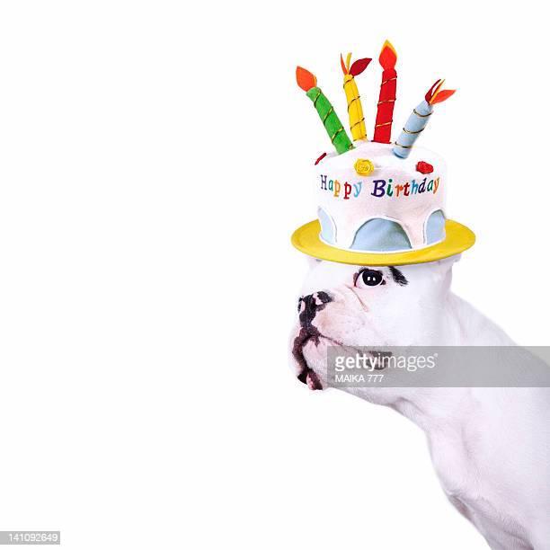 French bulldog with birthday cake